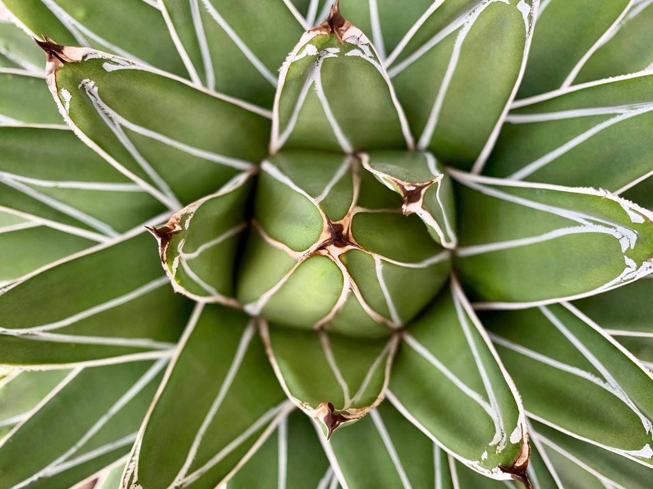 Draufsicht Aloe Vera Pflanze